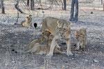 Asiatic Lion mother with cubs, Aziatische Leeuw moeder met jongen