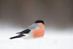 Bullfinch, Goudvink