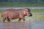 Hippo, Nijlpaard