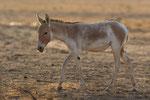 Asiatic Wild Ass, Aziatische Wilde Ezel