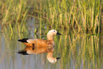 Ruddy Shelduck, Casarca