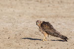 Montagu's Harrier, Grauwe Kiekendief