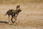African Wild Dog, Afrikaanse Wilde Hond