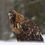 Golden Eagle, Steenarend
