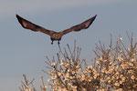Common Buzzard, Buizerd