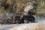 Hyena Cubs with Mother, Hyena jongen met moeder