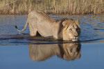 Lion in water, Leeuw in het water