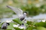 Whiskered Tern, Witwangstern