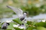 Whiskered Tern, Witwangstern