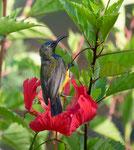 Olive Backed Sunbird, Staalborsthoningzuiger