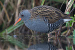 Water Rail, Waterral