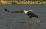 African Fish Eagle, Afrikaanse Zeearend