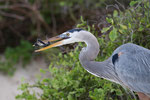 Great Blue Heron with Hatchling
