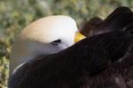 Waved Albatross