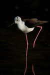 Black-necked Stilt, Steltkluut