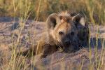 Hyena 1 year old, Eerstejaars Hyena