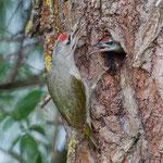 Grey-Headed Woodpecker, Grijskopspecht