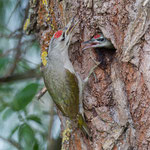 Grey-Headed Woodpecker, Grijskopspecht