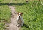 Jack-Russel Terrier, Benny - im Hintergund: Hanna