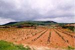 vignes à Logrono