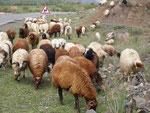 des moutons angoras