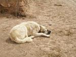 les chiens kangal ont un collier muni de pointes d'acier de 6 cm pour se défendre des attaques de loup