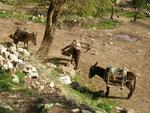 ânes iraniens