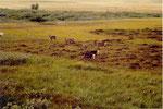 des rennes en semi-liberté
