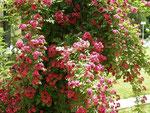 des roses d'Ispahan