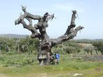 die kleinen Korken stammen von diesen großen Bäumen