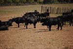 Teyran, élevage de taureaux