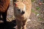 Alpacas, vigognes et lamas.