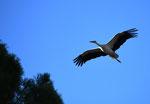 Cigognes en vol