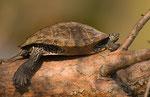 Rotwangen -Schmuckschildkröte  in unserem See Nähe Köln