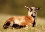 kleines Schaf
