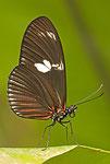 unbekannter Schmetterling II