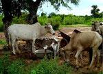 die Rinder
