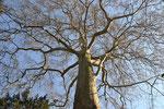 Majestueux arbre solognot - Carla Bozzolo
