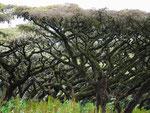 Acacias tourmentées - Marie-Agnès Barrère
