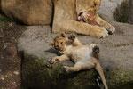 Junger Löwe 1.10.2010