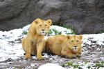 Indische Löwen 17.12.2011