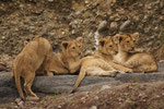 Junge Löwen 30.9.2010