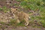 Junger Löwe 30.9.2010