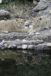 Junge Löwen 13.5.2011