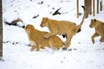 Indische Löwen 18.12.2011