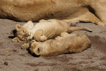 Junge Löwen 1.10.2010