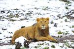 Indischer Löwe 17.12.2011