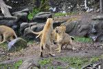 Indische Löwen 4.12.2011
