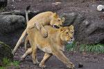 Indische Löwen 3.12.2011