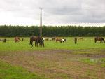die Pferde/Ponys werden geholt